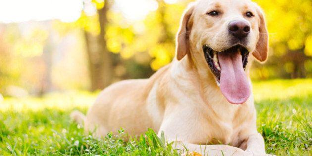Beautiful labrador retriever dog in the park, sunny