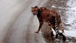 Couple Charged After Cheetah Spotted Wandering B.C.