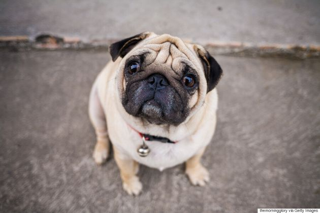 Vets Ask Potential Dog Owners To Not Buy 'Flat-Faced'