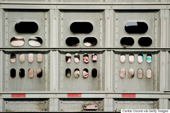 Canada's Farm Animals Deserve Dignity And Care In