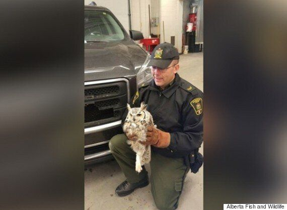 Owl Rescued From Front Grill Of Camrose Teacher's