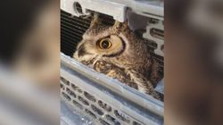 Hardy Alberta Owl Gives No Hoots About Collision With