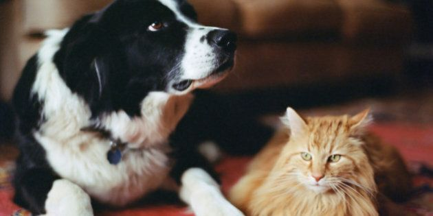 Sheepdog and long haired tabby on