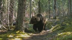 Banff's Most Badass Grizzly Is Tougher Than You