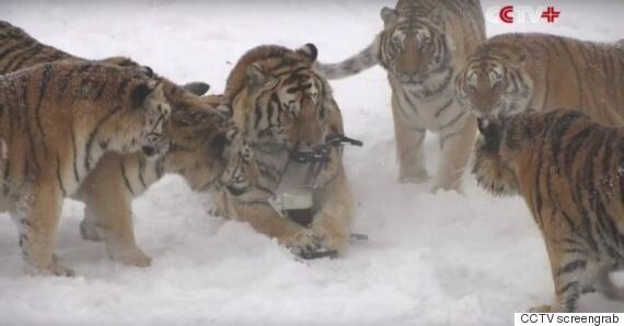 Controversy Swirls After Video Of Tigers Taking Out Drone Goes
