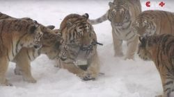 Zoo Controversy Emerges After Video Of Tigers Taking Out Drone Goes