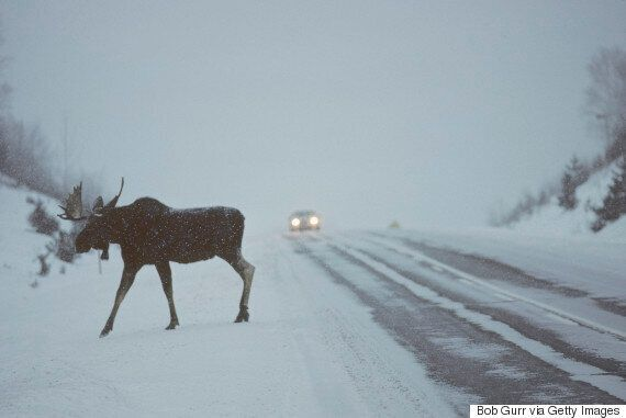 Car-Licking Moose Are On The Hunt For Some Salt, Alberta Parks