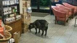 Happy Ending For Pygmy Goat After Wild Starbucks