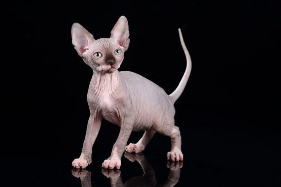 Hairless Cats And The Ugly Truth About Breeder