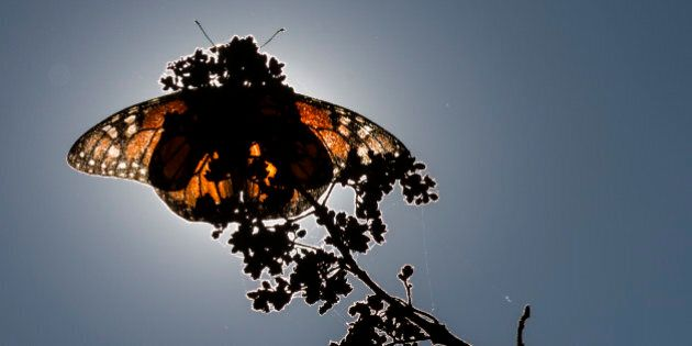ANGANGUEO, MEXICO - DECEMBER 18: A monarch butterfly rests on a plant at the Sierra Chincua sanctuary...
