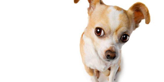 Big Eared Chihuahua Eavesdrops