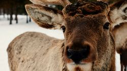 Indigenous People Hold The Key To Caribou