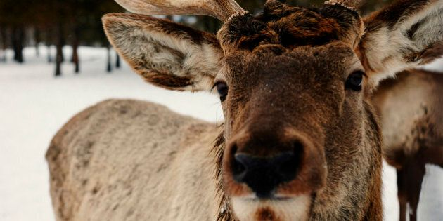 Close up of reindeer in