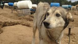 Sled Dog Businesses Don't Celebrate Animals, They Exploit