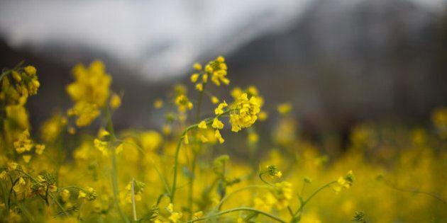 SRINAGAR, KASHMIR, INDIA - MARCH 19: General view of mustard field on March 19, 2016 in Srinagar, the...