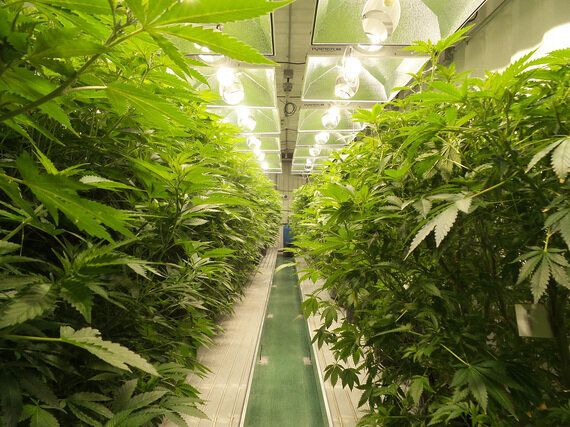 A Look Inside Mettrum, A Medical Cannabis
