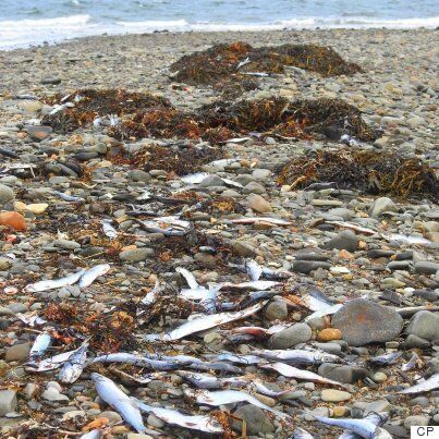 Nova Scotians Puzzled By Thousands Of Dead Fish Washing Up On