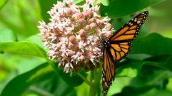 Got Milkweed? Monarch Butterflies Still Need Your