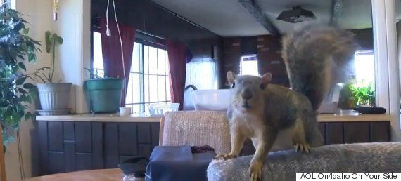 Pet Squirrel Stops Burglary In Idaho By Scratching The Crap Out Of