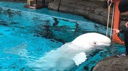 Beluga Whale Dies At Vancouver