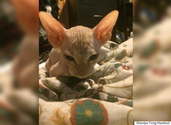 Hairless Sphynx Cat Scam Dupes 3 Alberta