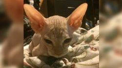 Hairless Cat Scam Uncovered After Kittens Grow