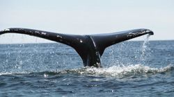 Humpback Whale Spotted In New York City