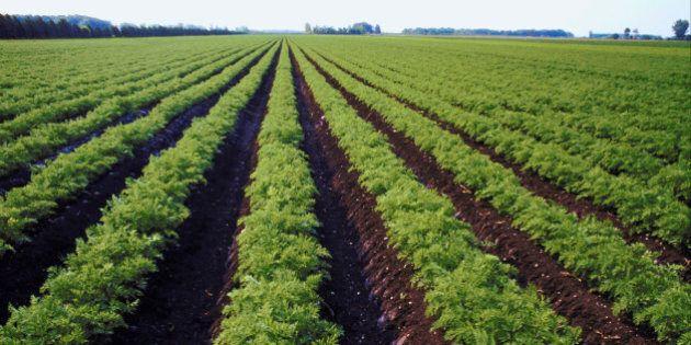 Rows of lettuce growing in