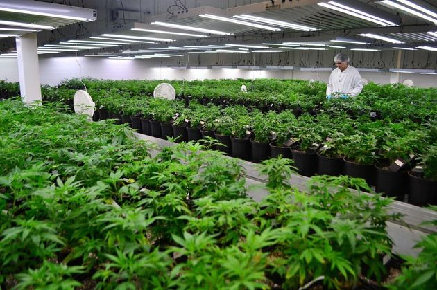 Canadian Marijuana Stocks' Trading Halted Amid Panic Buying And