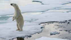 Shrinking Polar Bears Linked To 'Dramatic' Sea Ice Change: