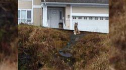 Wolf Nips Dog-Walker's Heels In B.C.