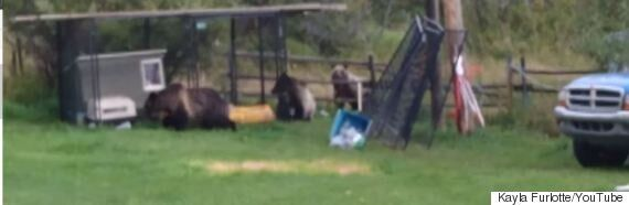 Alberta Grizzlies Invade Family's