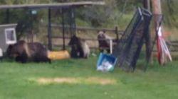 ► 3 Grizzlies Invade Alberta