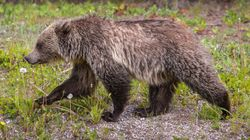 Alberta Grizzlies May Be Adapting To Avoid