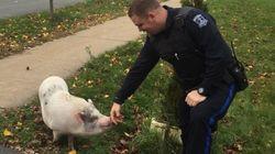 A Pig Named Kevin Bacon Ran Footloose Through