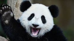 Giant Pandas Are No Longer