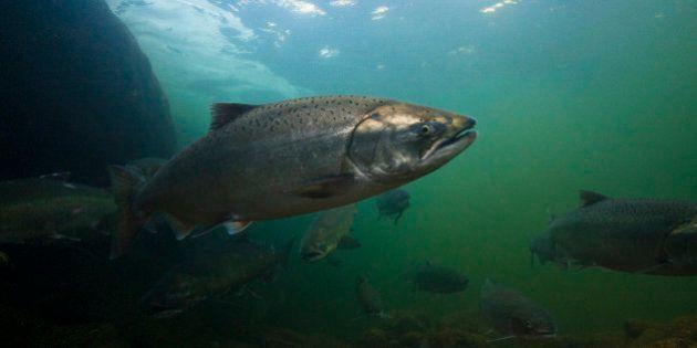 A salmon heads upstream in the Klamath