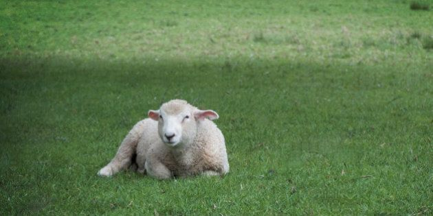 Sheep in Cornwall Park, Auckland