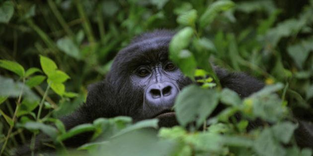 TO GO WITH AFP STORY BY DENIS BARNETT A gorilla looks on while relaxing in a clearing on the slopes of...