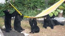 Silly Bears In B.C. Can't Figure Out How The Hell A Hammock