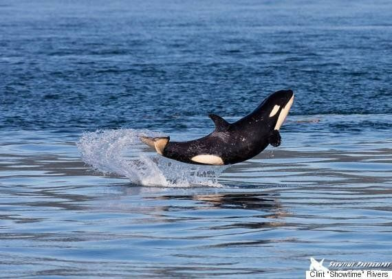 B.C. Orca Baby Shows Off Near Vancouver