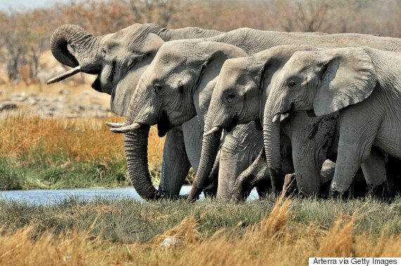 African Savanna Elephant Population Rapidly Declining Due to