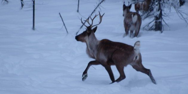 Caribou startled by the click of camera and scent of a