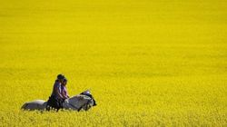 China And Canada's Canola Conundrum