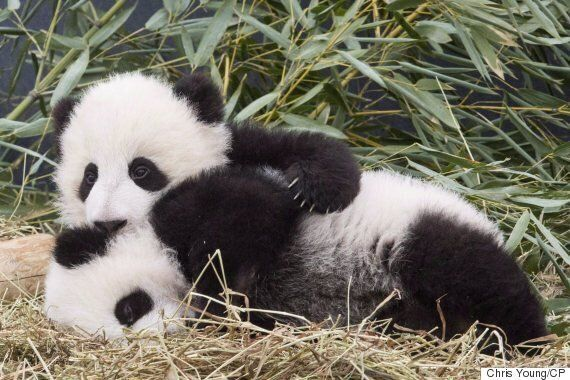 Naheed Nenshi Asks For Federal Funds For Calgary Zoo Panda