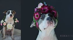 Photographer Softens Up Pit Bulls With Adorable Flower