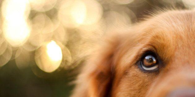 Golden Retriever eyes of devotion.