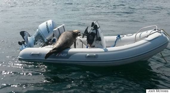 Seal Borrows B.C. Boat To Escape Killer Whales Like A