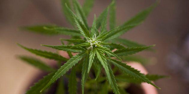 Detail of a marijuana plant