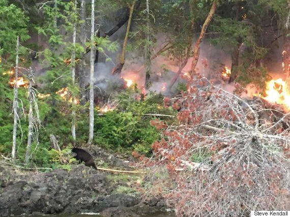 Bear Caught In B.C. Wildfire Captured In Heartbreaking